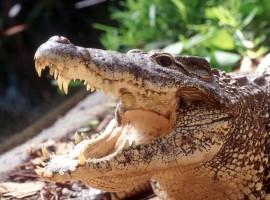 cuba havana varadero cubagood.com куба гавана варадеро тур крокодил