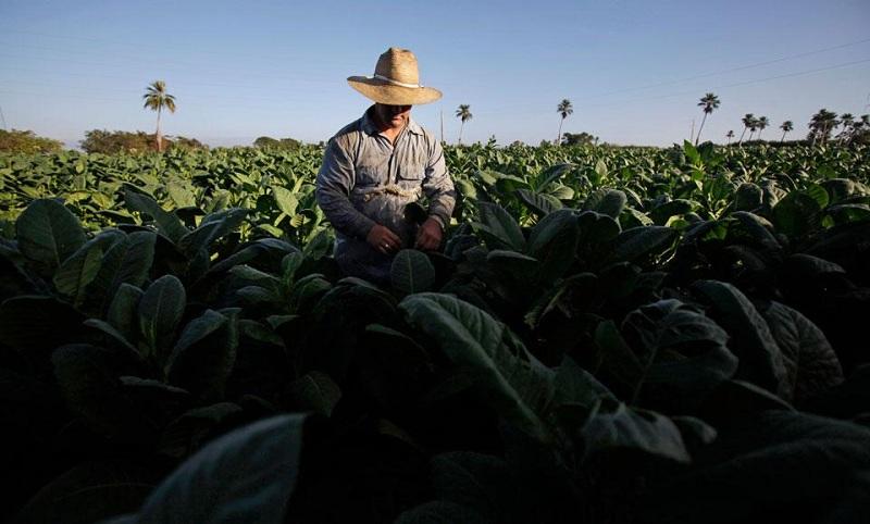 выращивание табака cuba havana varadero cubagood.com куба гавана варадеро тур